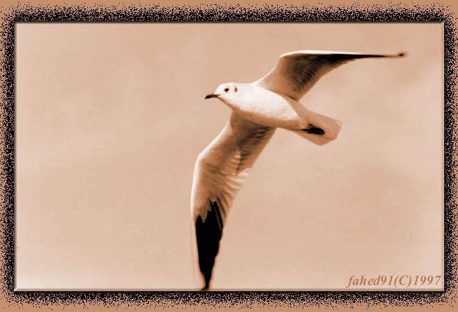 seagull-III